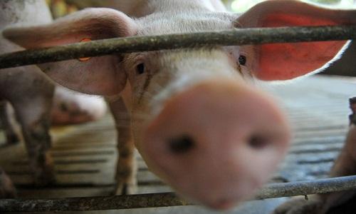 Exportações de carne de porco batem recorde em 2019, diz ABPA