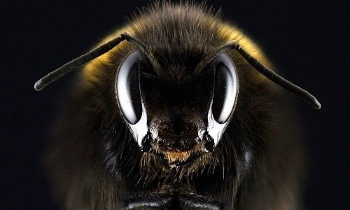 Fóssil de 100 milhões de anos é registro mais antigo de abelha infestada de parasitas