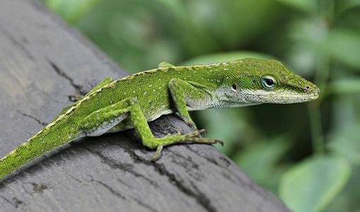 Encontrado lagarto de 20 milhões de anos preservado em âmbar